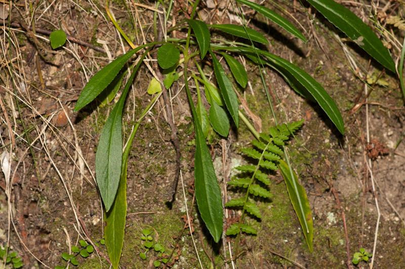Campanula persicifolia l campanule feuilles de p cher pr servons la nature - Campanule a feuilles de pecher ...
