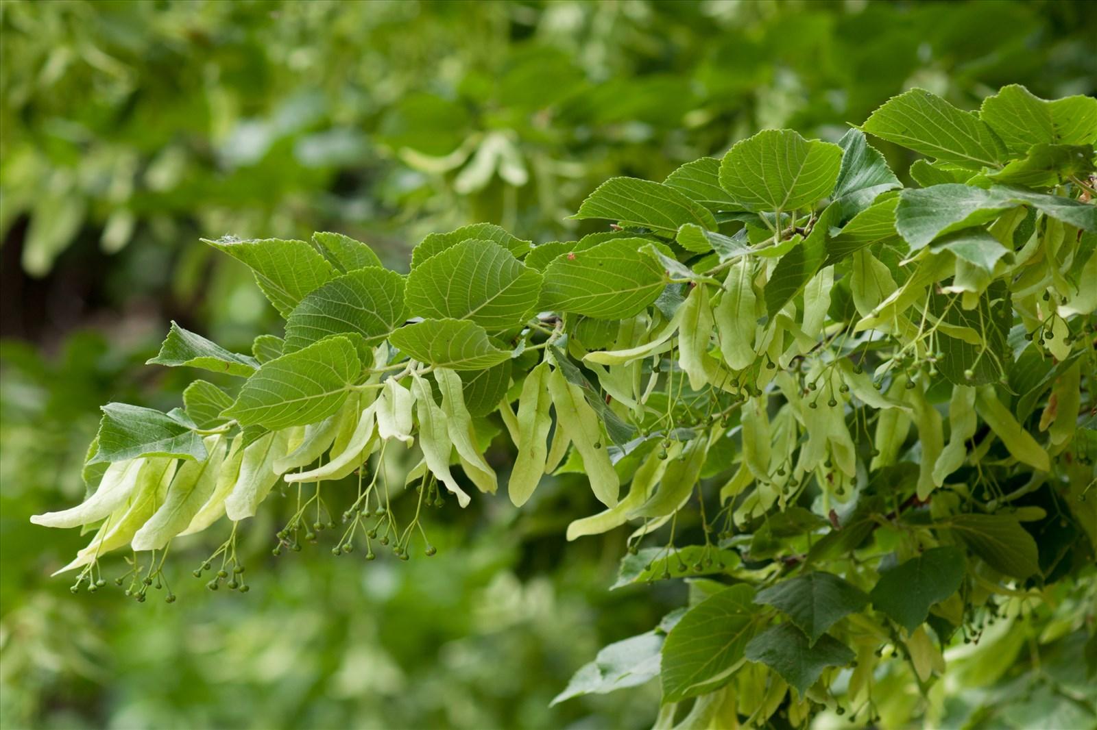 Tilia platyphyllos scop floraphile 45 - Tilleul a grandes feuilles ...