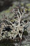 Cladonia arbuscula subsp. mitis