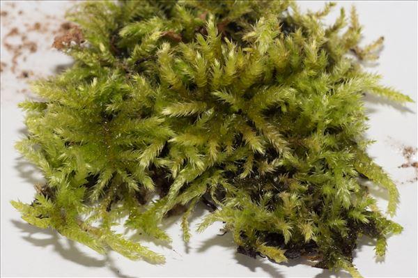Eurhynchium striatum