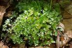 Rhizomnium punctatum