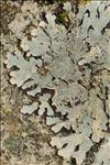 Phaeophyscia orbicularis