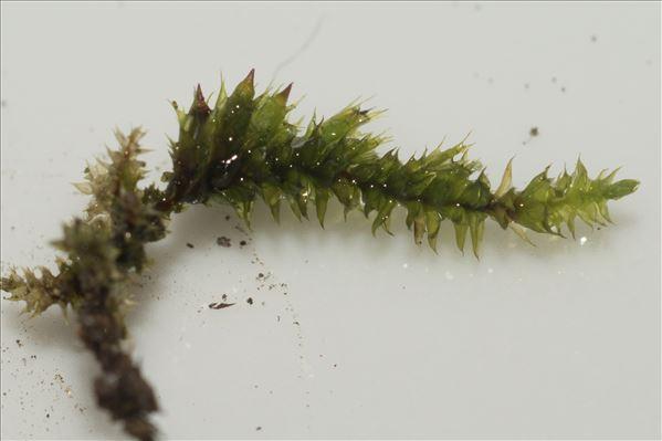 Cryphaea heteromalla