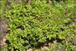 Syntrichia latifolia