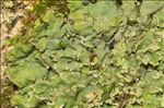 Physconia grisea