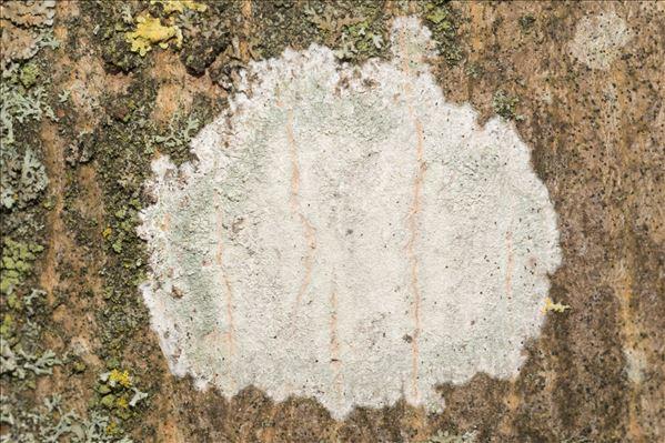 Phlyctis argena