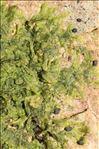 Metzgeria furcata