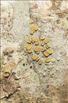 Caloplaca cerina