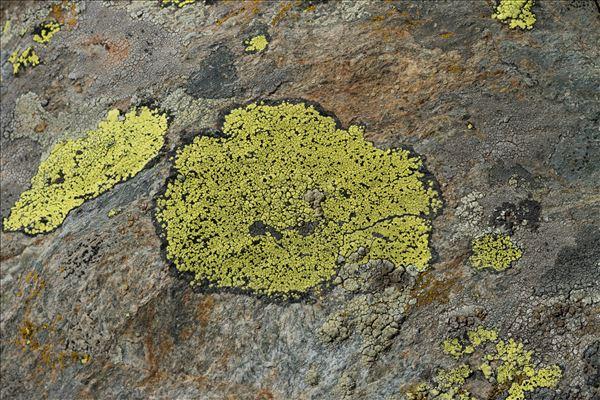 Rhizocarpon geographicum subsp. geographicum