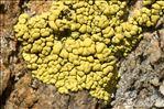 Pleopsidium chlorophanum