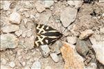 Arctia plantaginis