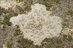 Lecanora carpinea