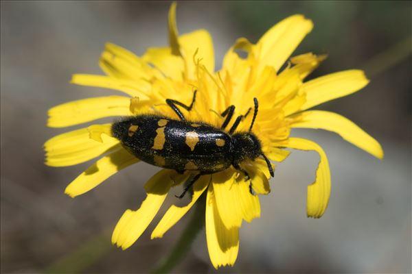 Hycleus polymorphus