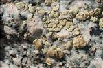 Lecanora alpigena