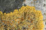 Caloplaca flavescens