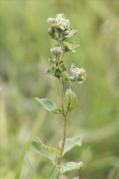 Aceria labiatiflorae