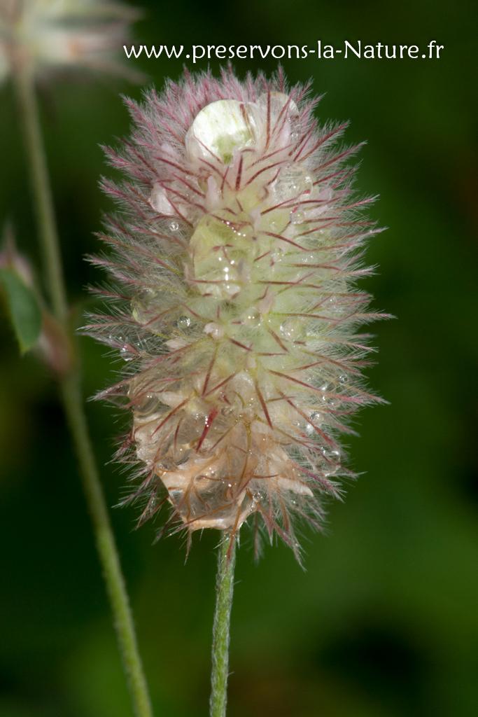 Trifolium arvense (pied de lièvre)