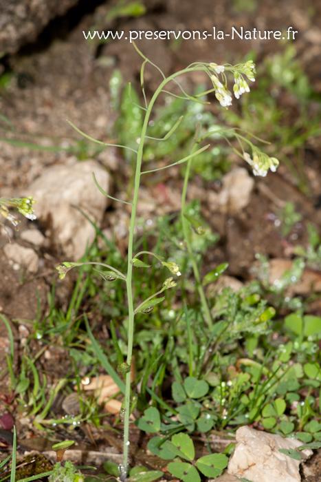 Arabette de Thalius (Arabidopsis thaliana)