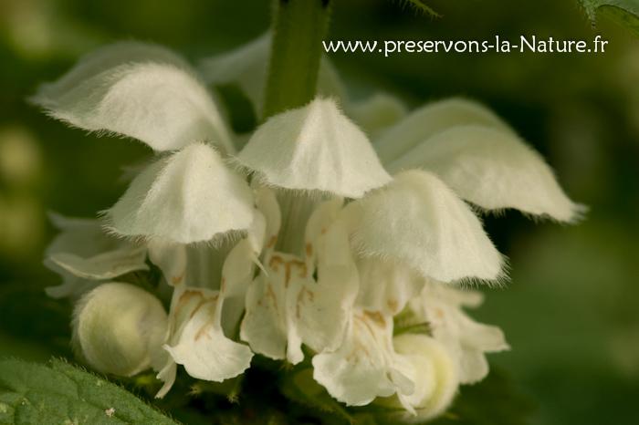Fleurs de lamier blanc (Lamium album)