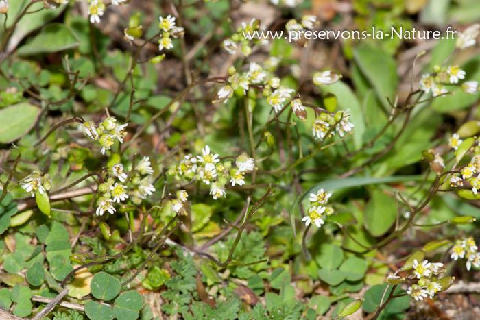 La drave printanière (Erophila verna)