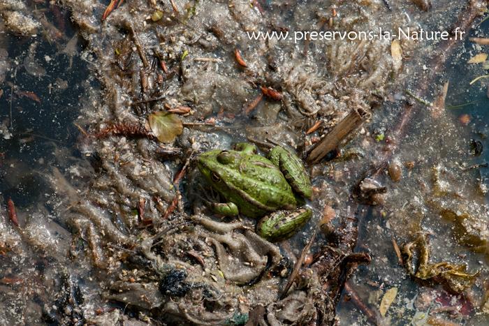 Grenouille verte sur un tapis de lingettes