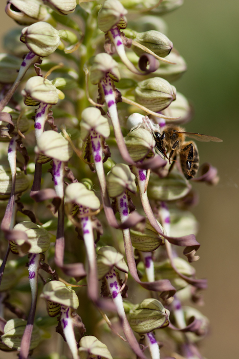 Une abeille butine sur l'orchidée