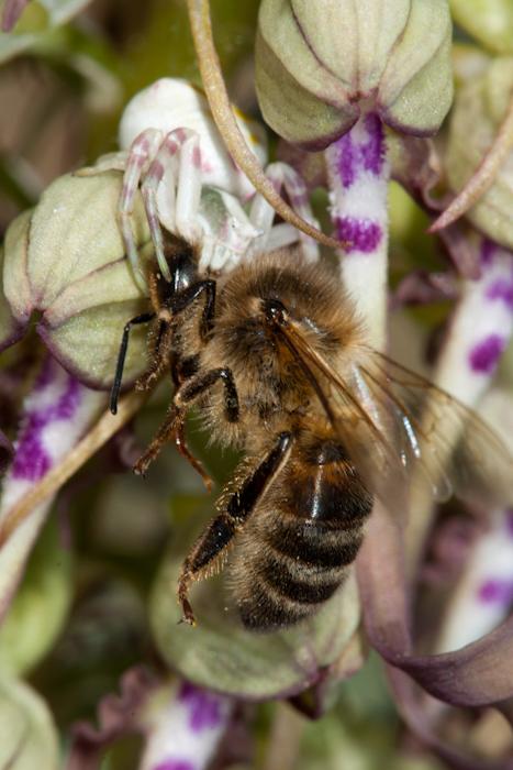 L'abeille, le crabe et l'orchidée