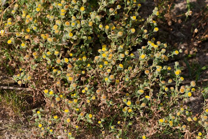 La pulicaire commune (Pulicaria vulgaris)