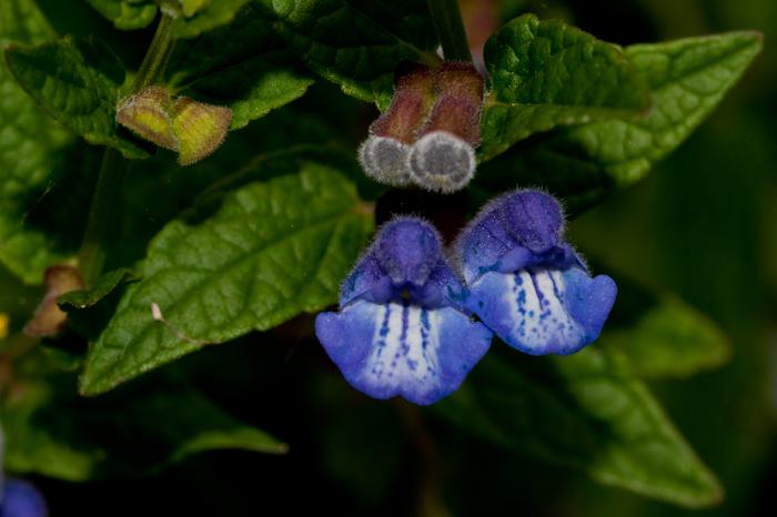 Scutellaria galericulata L.