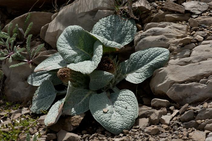 La Bérardie laineuse (Berardia subacaulis Vill.)