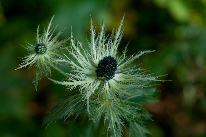 Le Panicaut des Alpes (Eryngium alpinum L.)