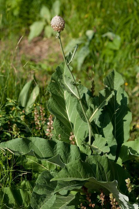 Rhaponticum heleniifolium Godr. & Gren. subsp. heleniifolium