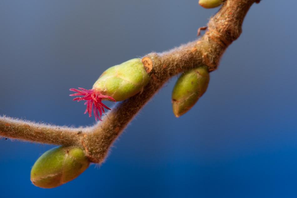 Fleur femelle de noisetier (Corylus avellana)