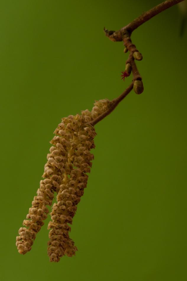 Fleurs mâles de noisetier (Corylus avellana)