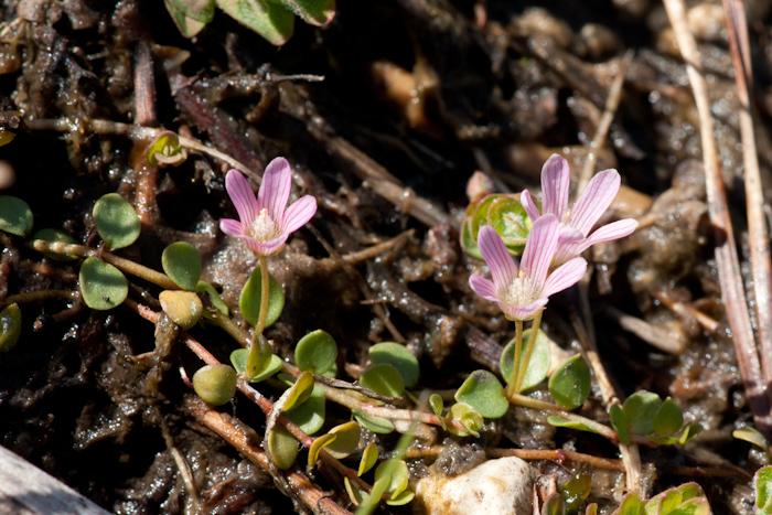 Le mouron délicat  (Lysimachia tenella L.)