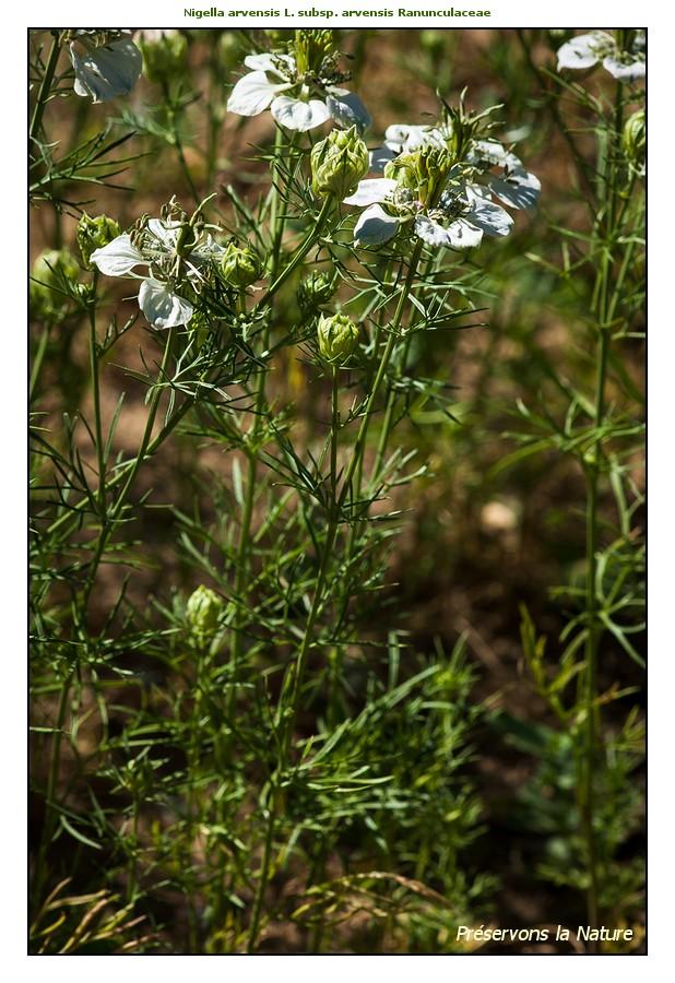 La Nigelle des champs (Nigella arvensis L.)