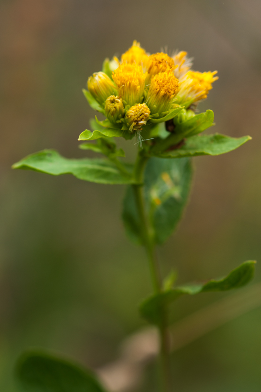 Inula bifrons (L.) L.
