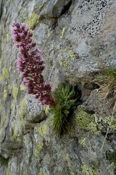 Saxifraga florulenta