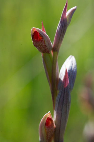 Serapias parviflora Parl. à Porquerolles en 2013