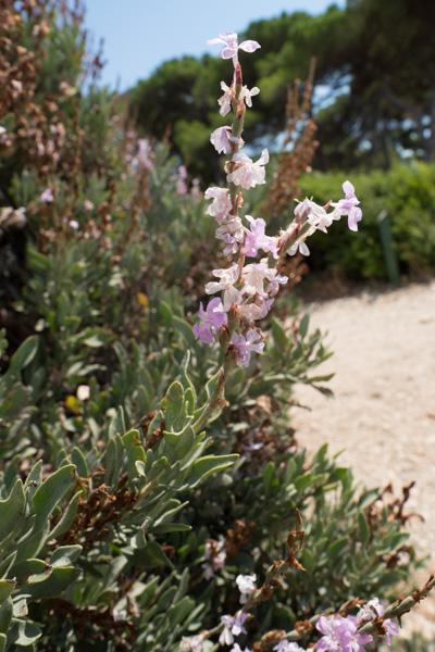 Limoniastrum monopetalum (L.) Boiss. à l'Ile Sainte-Marguerite en 2013
