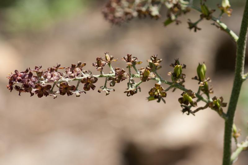 Veratrum nigrum L. en fleurs