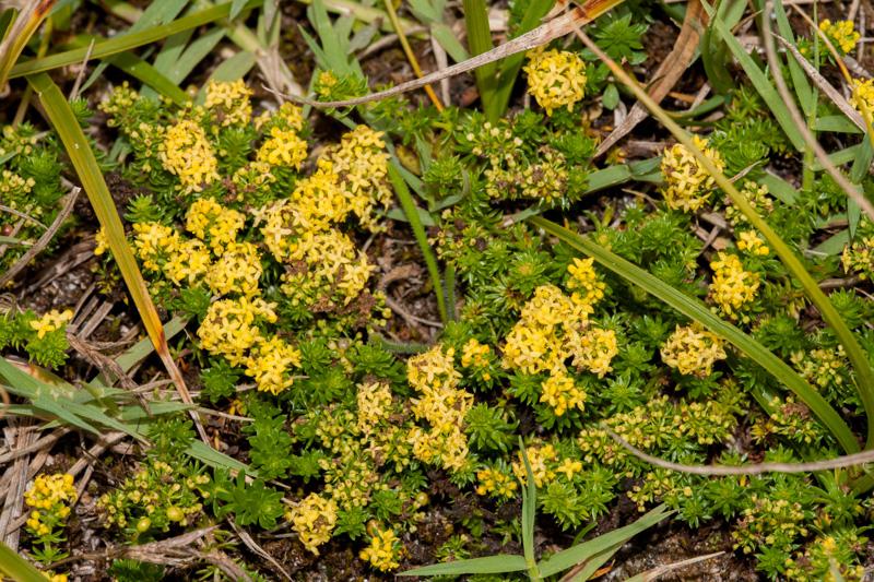 Galium arenarium Loisel. à Tregennec en 2009