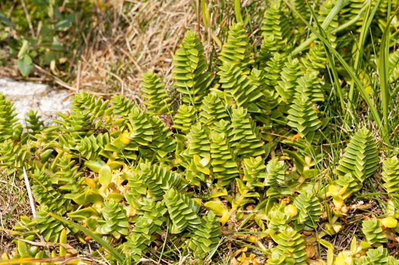 Honckenya peploides (L.) Ehrh.