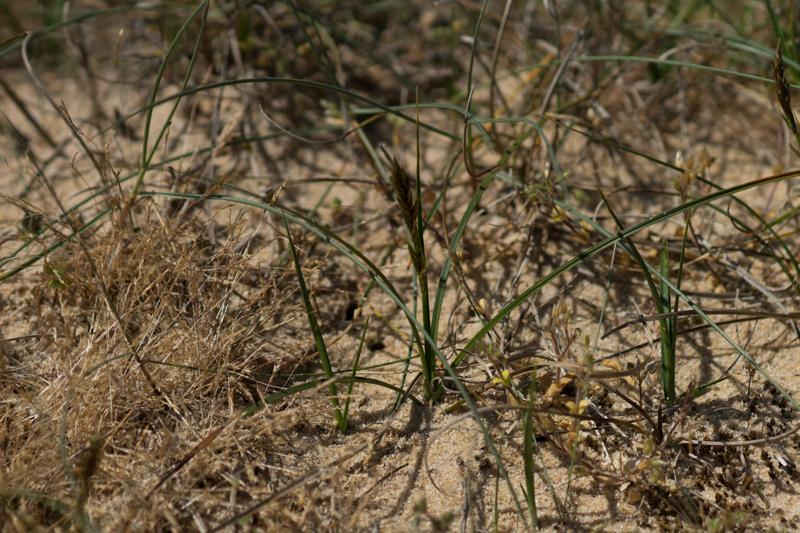 Carex arenaria L. ( Laîche des sables )