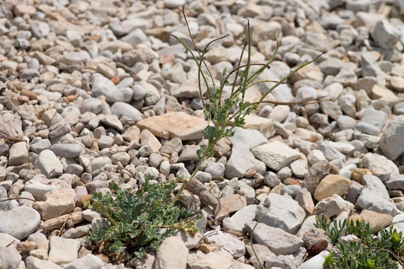 Glaucium flavum Crantz ( Pavot jaune des sables )