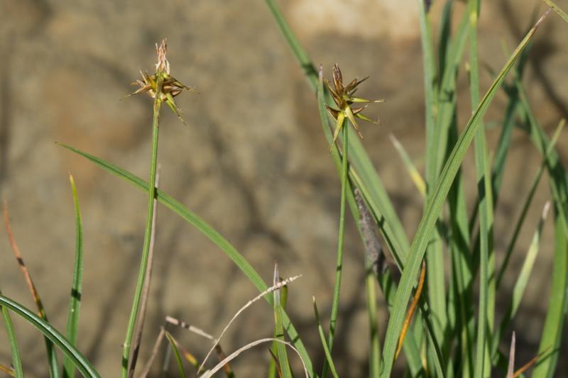 Carex microglochin Wahlenb. ( Laîche à petite arête )