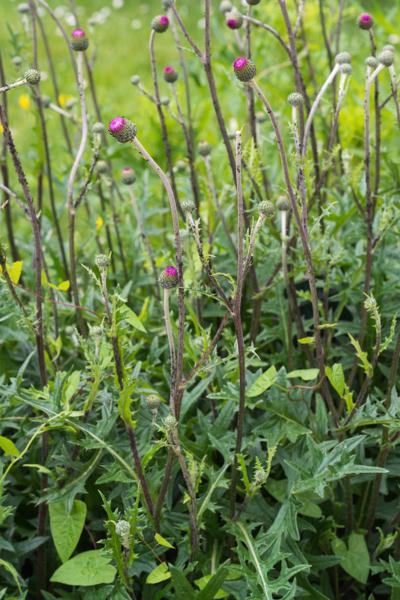Cirsium tuberosum (L.) All. ( Cirse bulbeux )