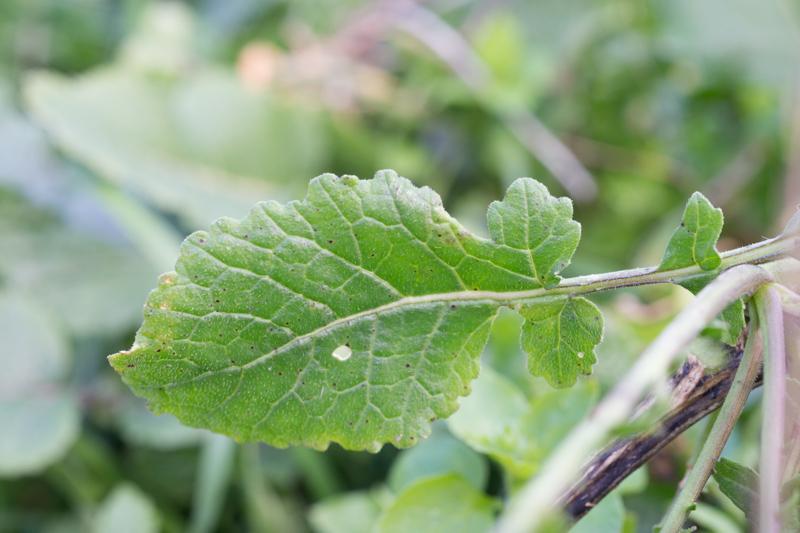 Erucastrum incanum (L.) W.D.J.Koch ( Roquette bâtarde )