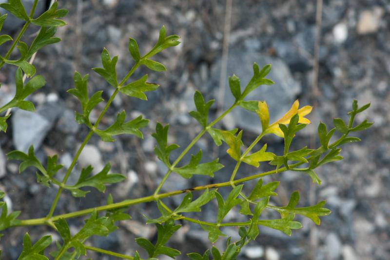 Laserpitium gallicum L. ( Laser de France )