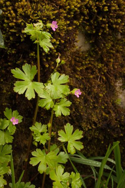 Geranium lucidum L. ( Géranium luisant )